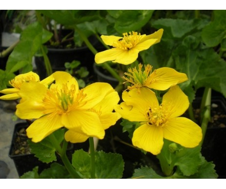 Caltha Palustris 'Yellow Giant'