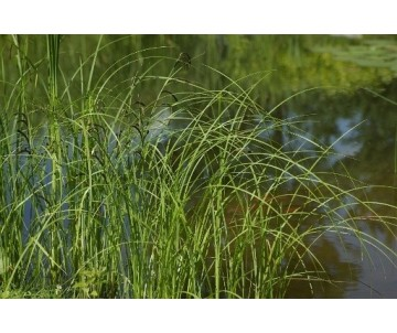 Carex Gracilis