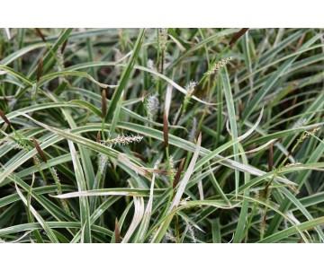 Carex Monrowii