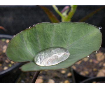 Colocasia Esculenta 'Tea Cup'