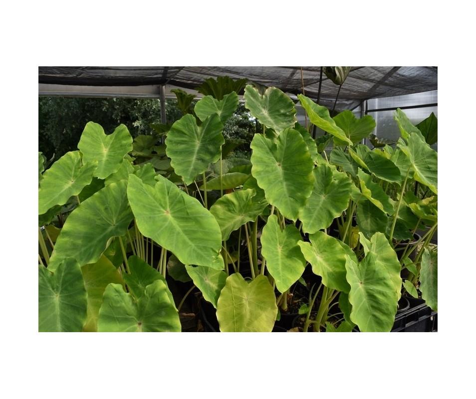 Vivaio hydrophyllum palustri e terreno umido colocasia for Piante palustri