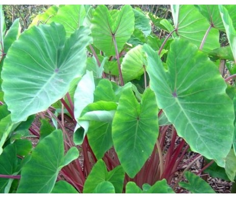 Colocasia Esculenta 'Red Stem'