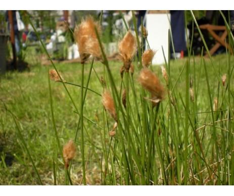 Eriophorum Russeolum