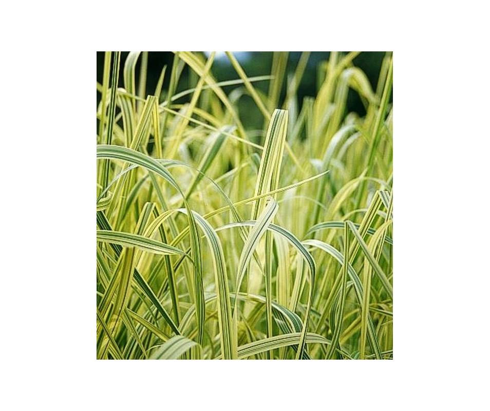 Vivaio hydrophyllum palustri e terreno umido glyceria for Piante palustri