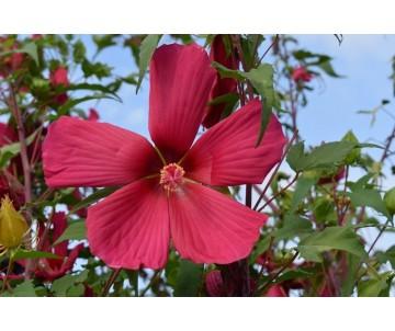 Hibiscus Coccineus 'Fucsia'