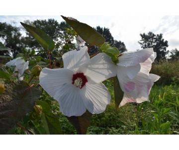 Hibiscus Moscheutos 'Galaxy' Bianco
