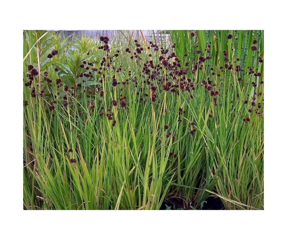 Vivaio hydrophyllum palustri e terreno umido juncus for Piante palustri