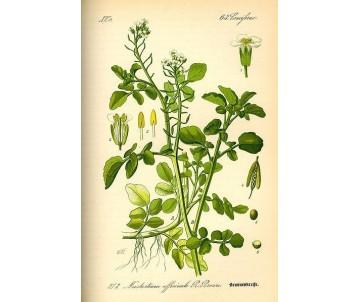 Nasturtium Officinalis