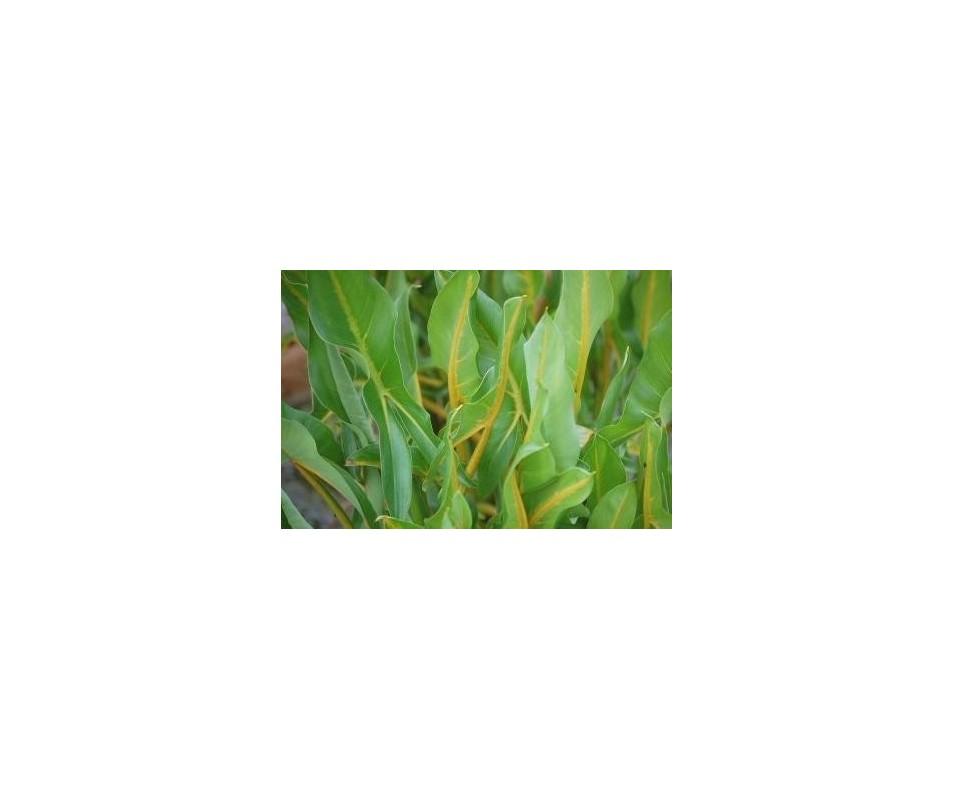 Peltandra Sagittifolia 'Yellow Vein'