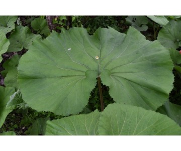 Petasites Japonicus 'Giganticus'