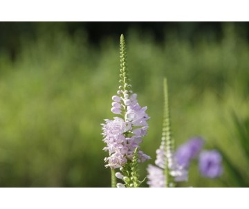 Physostegia Virginiana 'Rose Queen'