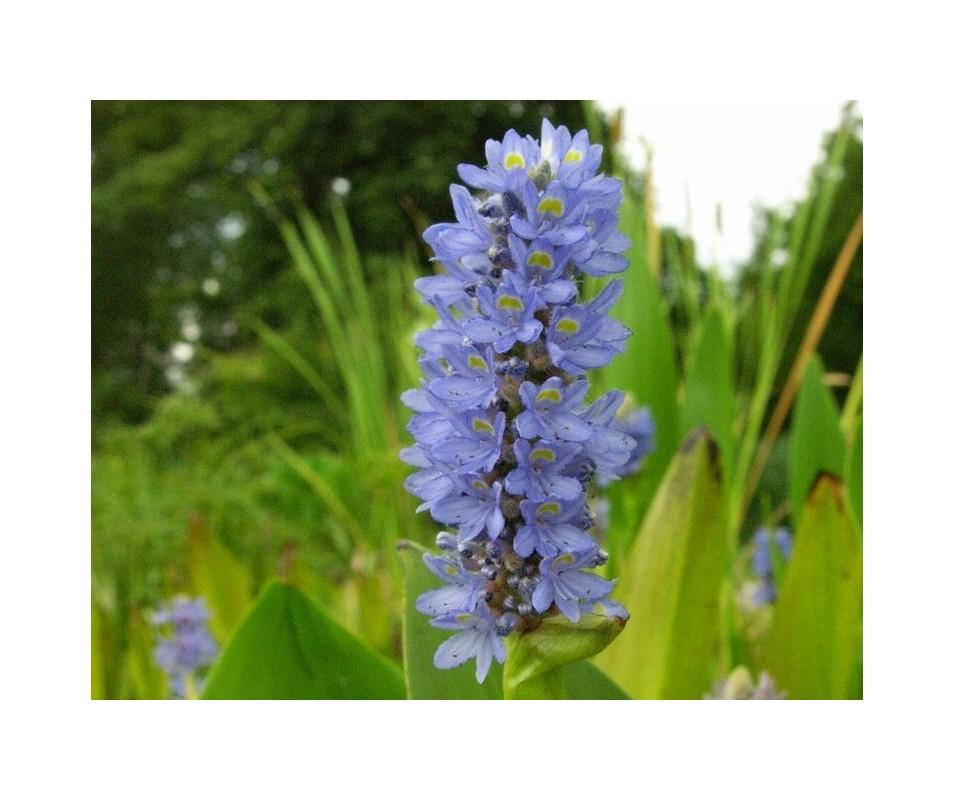 Pontederia Lancifolia