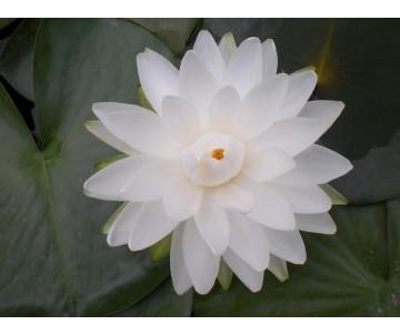 Nymphaea 'White 1000 Petals'
