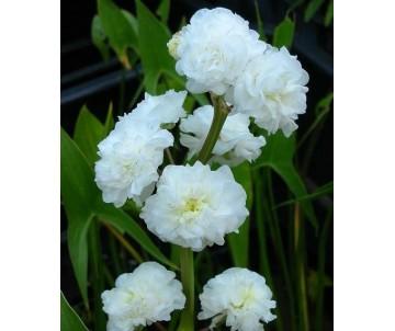 Sagittaria Sagittifolia 'Flore Pleno'