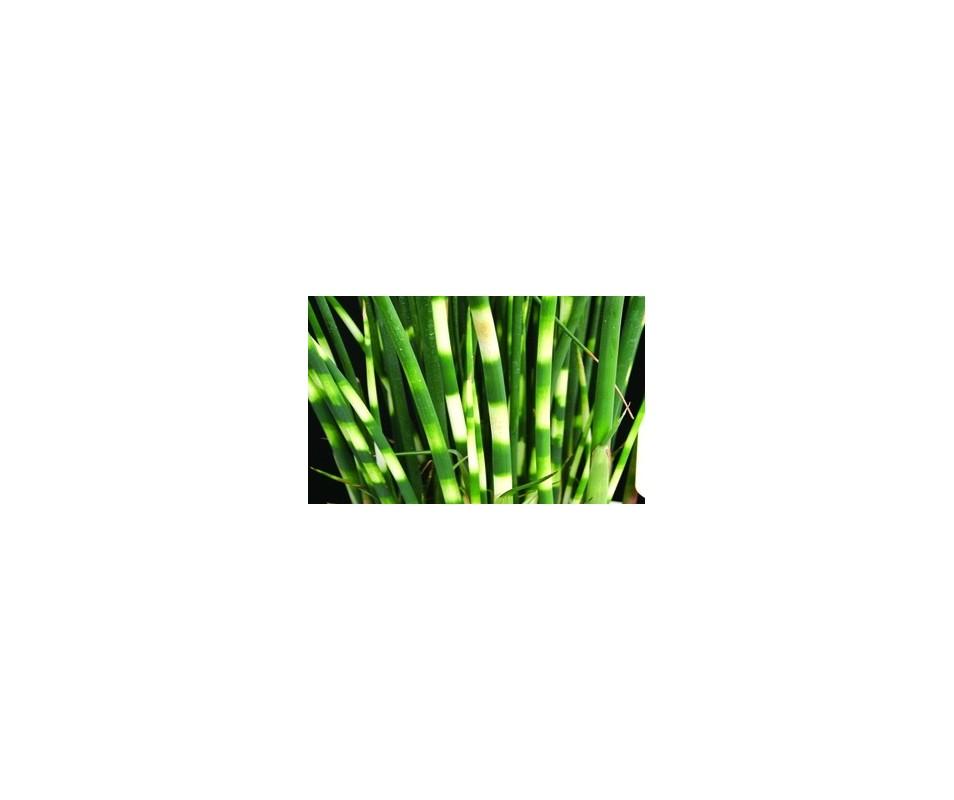 Scirpus Lacustris 'Zebrinus'