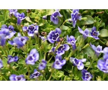 'Lindernia Grandiflora'