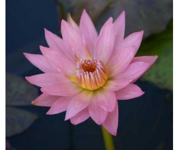 Nymphaea 'Apricot Pink'