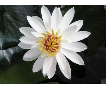 Nymphaea 'Lotus' (notturna)