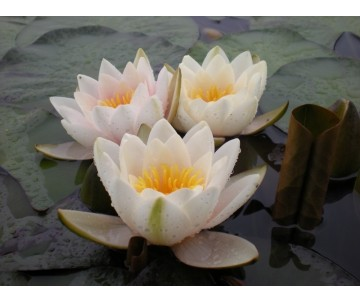 Nymphaea 'Mary Patricia'