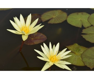 Nymphaea 'S.Louis Gold'
