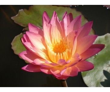 Nymphaea 'Tropic Sunset'