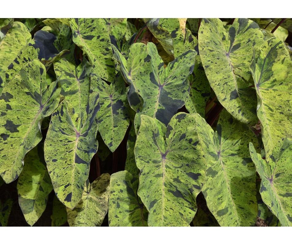 Colocasia Esculenta 'Mojito'