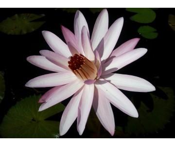 Nymphaea Notturna 'Texas Shell Pink'