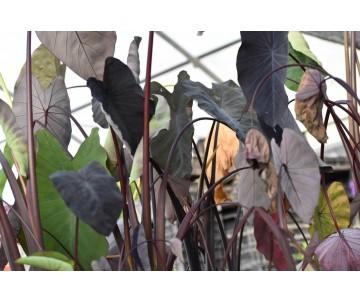 Colocasia Esculenta 'Black Magic'