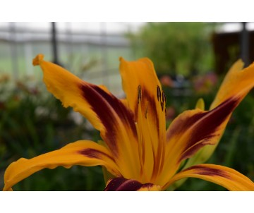 Hemerocallis 'Bottle Rocket'