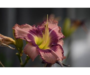 Hemerocallis 'Druid's Chant'