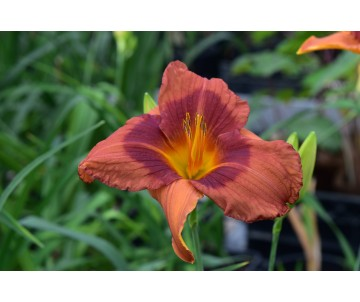 Hemerocallis 'Duke of Durham'