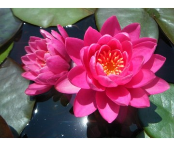 Nymphaea 'Bledding Heart'