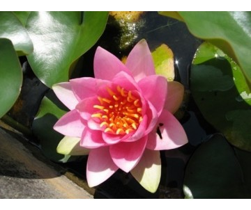 Nymphaea 'France'