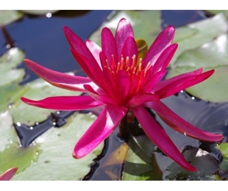 Nymphaea 'Hidden Violet'