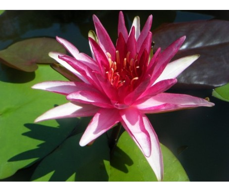 Nymphaea 'Perry's Red Blaze'