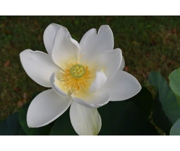 Nelumbo 'Shinju'
