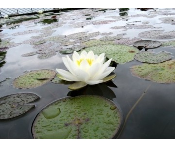 Nymphaea 'Queen of the White'