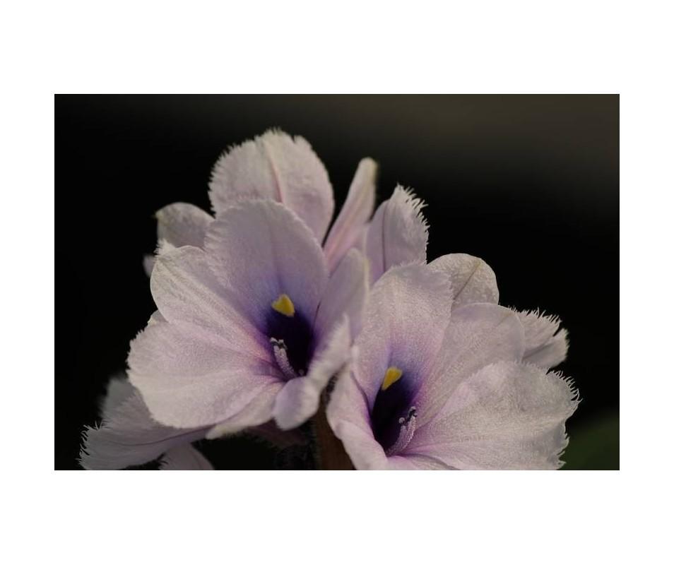 'Eichornia azurea'