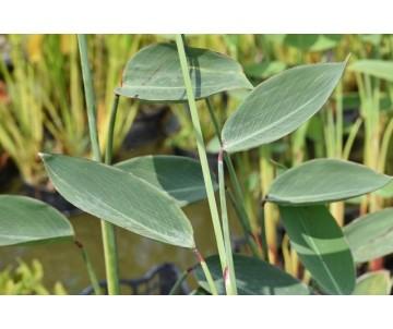Thalia multiflora