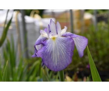 Iris Ensata 'Gracieuse'