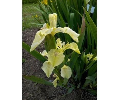 Iris Pseudacorus 'Ivory'