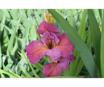 Iris Louisiana 'Ann's Child'