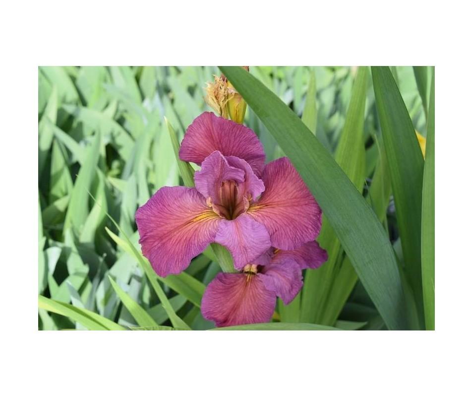 Iris Louisiana 'Ann's Child'