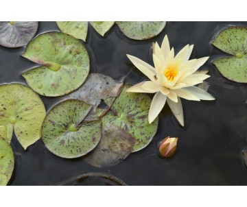Nymphaea 'Yellow Queen'