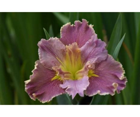Iris Louisiana 'Lake Hamana'