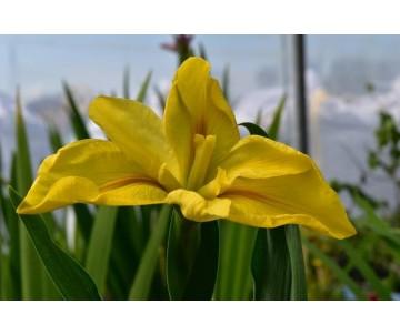 Iris Louisiana 'Laura Louise'