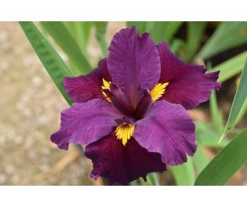 Iris Louisiana 'Night Thunder'