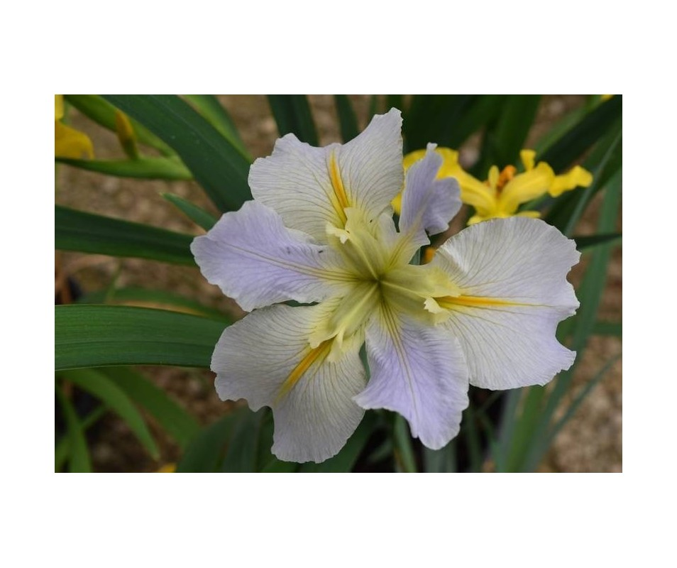 Iris Louisiana 'Nutcote'