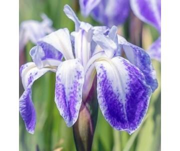 Iris laevigata 'Colchester'