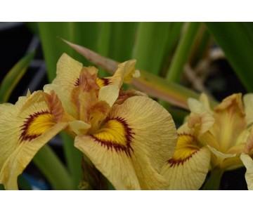 Iris pseudata 'Akimatsuri'